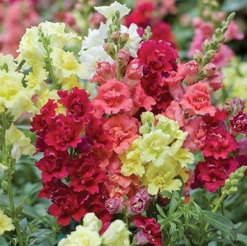 Flores boca de leão.