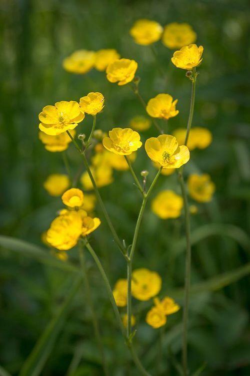 Flores para jardim delicadas e amarelas.