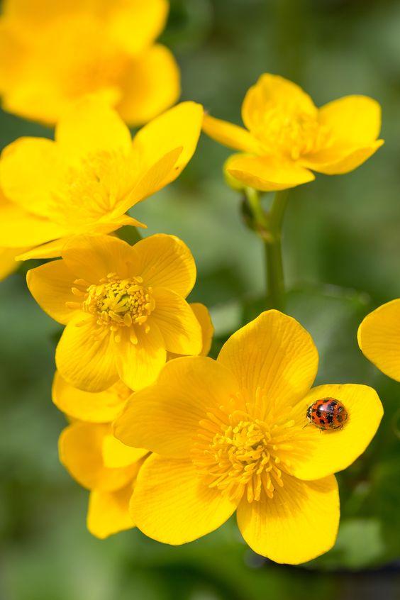 Flor botão de ouro com uma joaninha.
