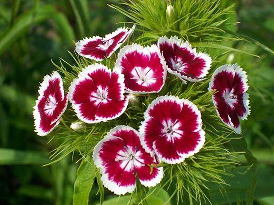 Flores para jardim: cravina.