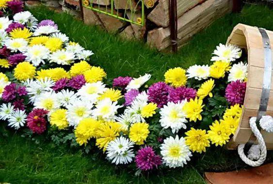 Jardim com várias cores de crisântemo.