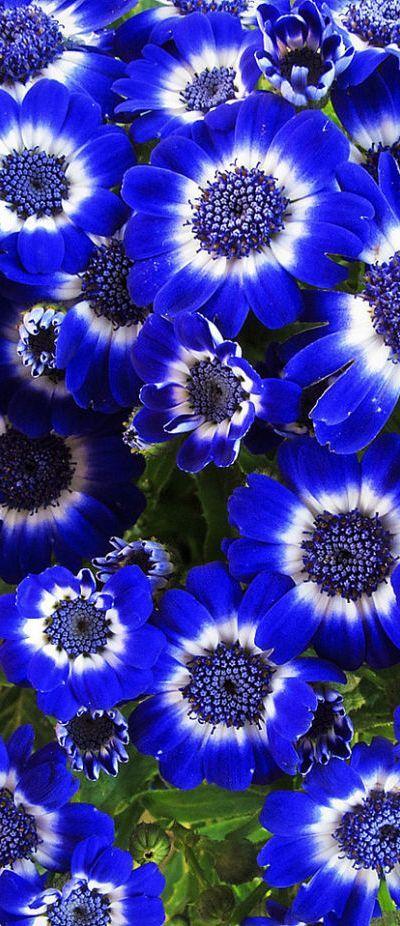 Cinerária azul.