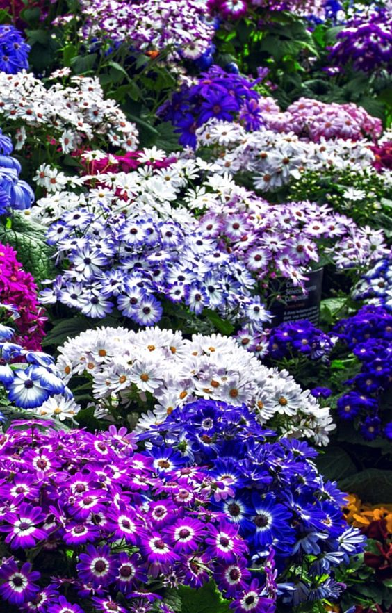 Jardim com cinerárias roxas, azuis e brancas.