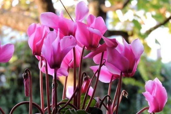 Algumas flores ciclame rosas.