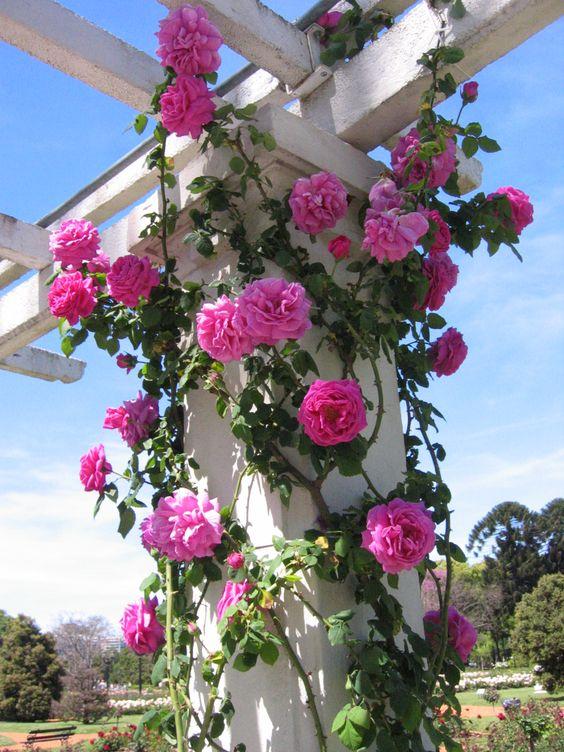 Rosas em uma coluna de pergolado.