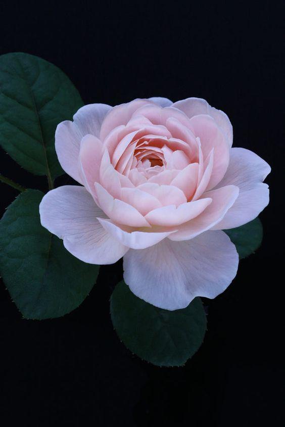 Flores para jardim: pegónia.