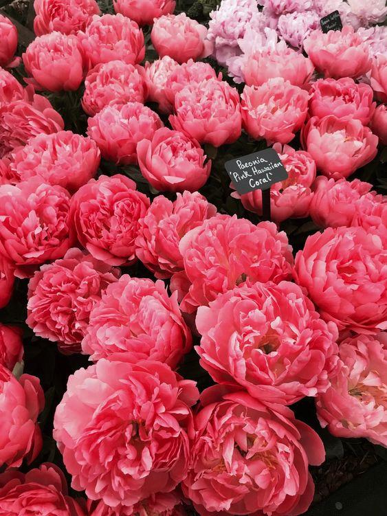Várias flores rosas com uma plaquinha de identificação.
