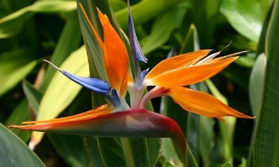 Flores para jardim: ave do paraíso.