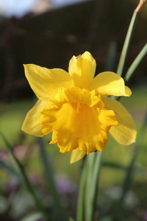 Flores para jardim: Narciso.