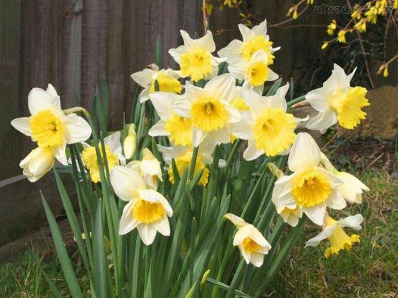 Narciso amarelo e branco.