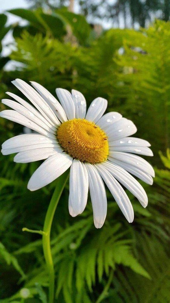 Flor margarida com pétalas molhadas.