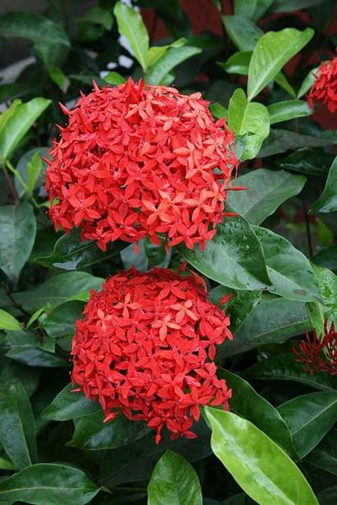 Flores para jardim: ixora.
