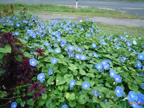 Jardim com muitas flores azuis.