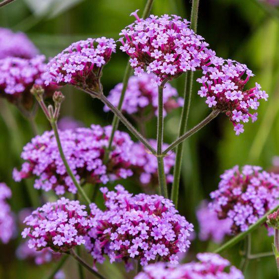 Flores para jardim: verbena.