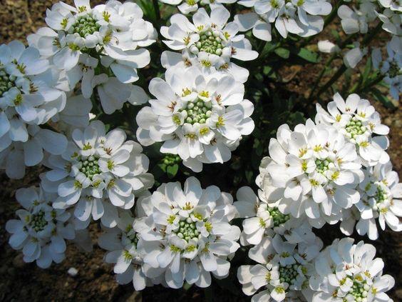 Flor ornamental candytuft.