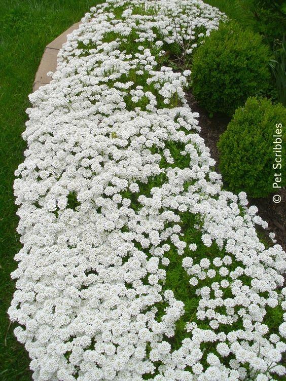 Jardim com muitas flores brancas.