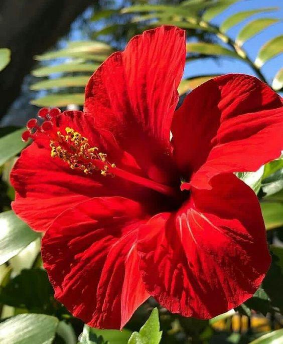Flores para jardim: hibisco.