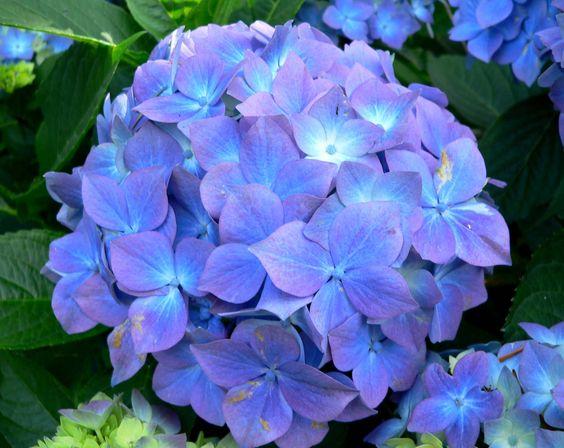 Flores para jardim: hortênsia.