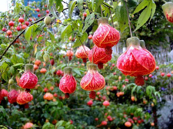Jardim com as flores para jardim: lanterninha chinesa.