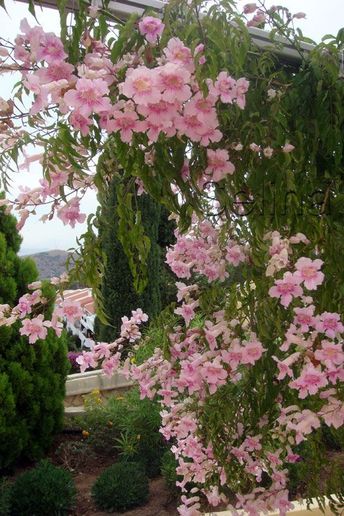Jardim com a flor sete léguas.