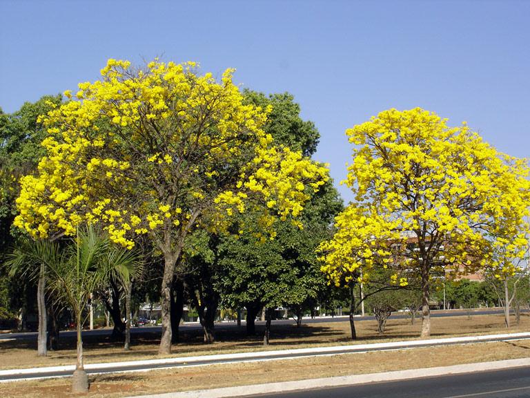 duas arvores de ipê amarelo na calçada