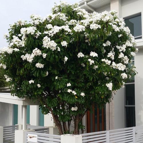 jasmim do caribe flores brancas