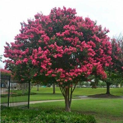 espécie de árvore de porte pequeno Rosedá