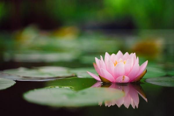 flor de lótus no lago
