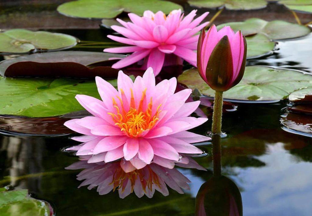 lago com flores