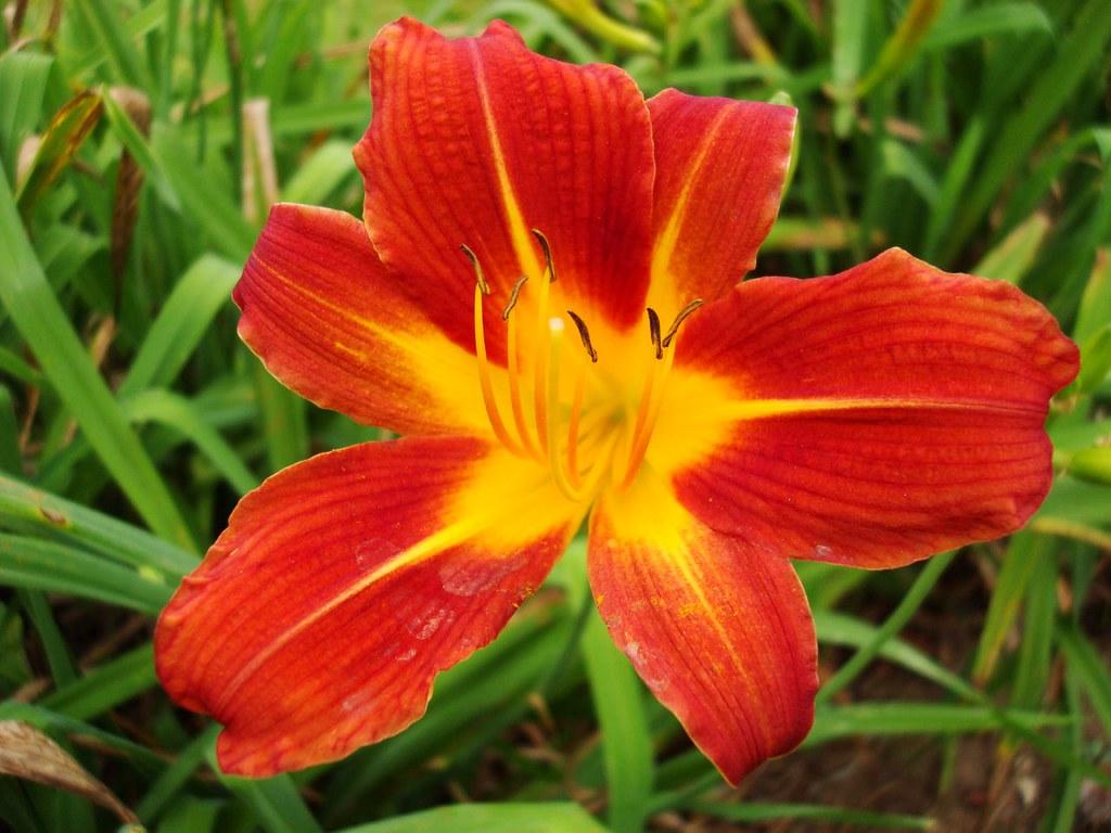flor amarílis mesclada
