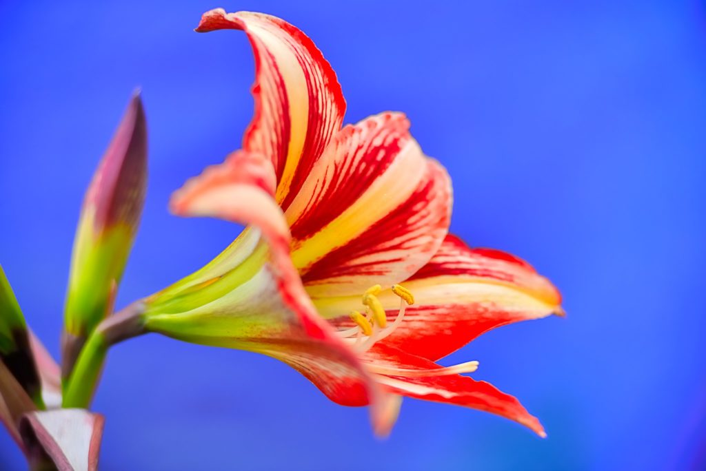 amarílis natural tricolor