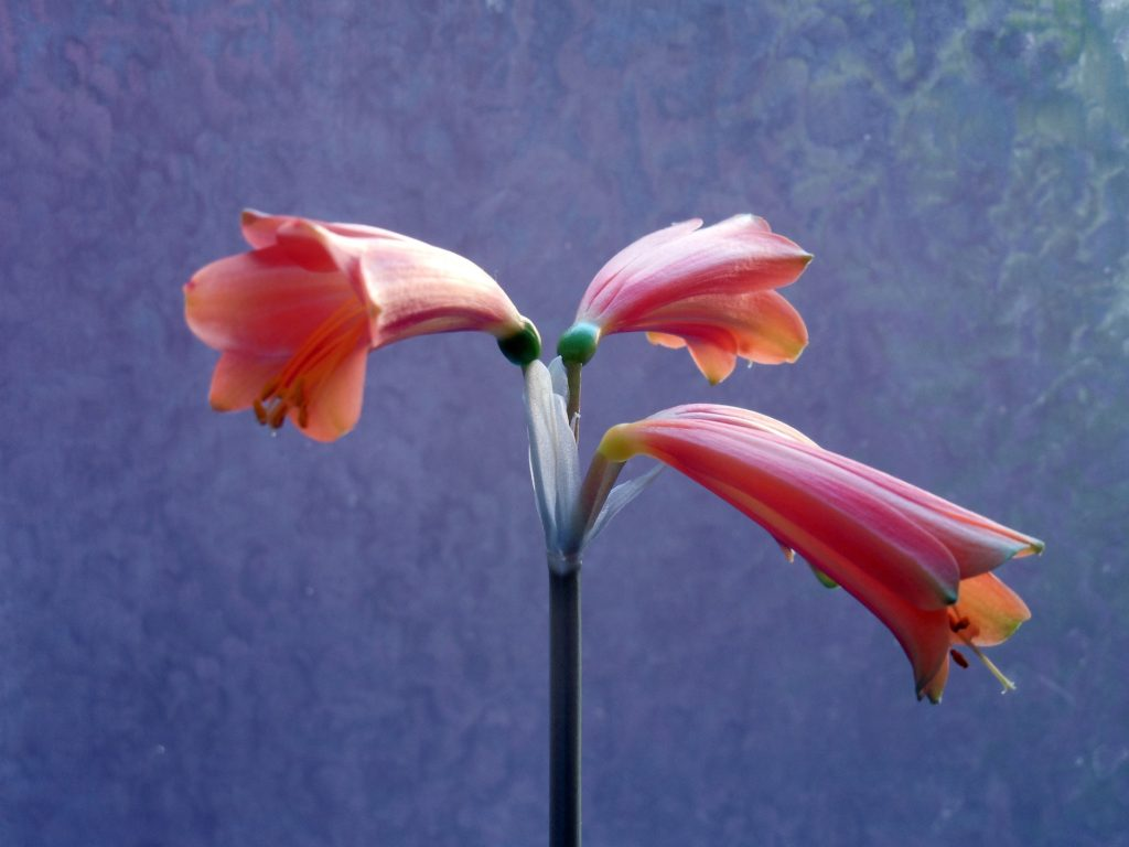 flor amarílis desabrochando