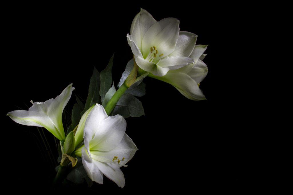 flor exuberantte na cor branca