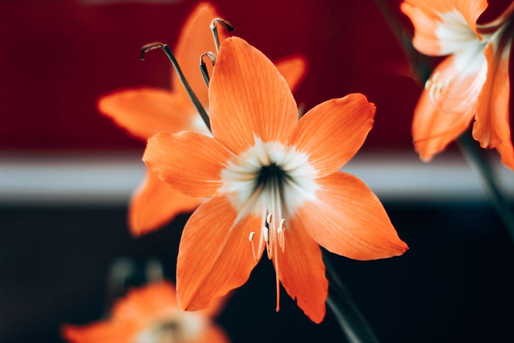 flores laranja e branco