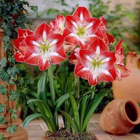 amaílis no vaso de cerâmica