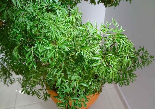 árvore da felicidade no vaso
