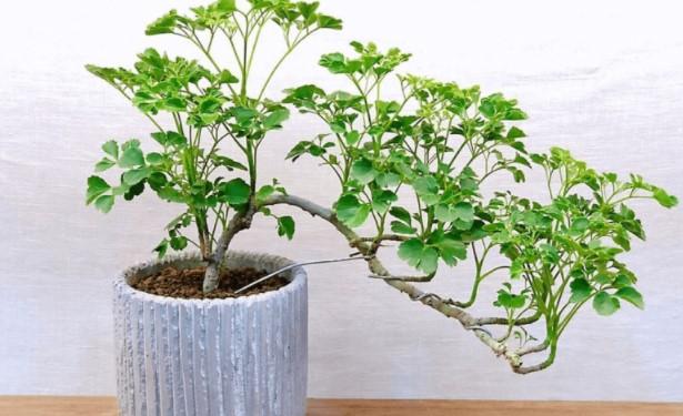 árvore da felicidade pequena
