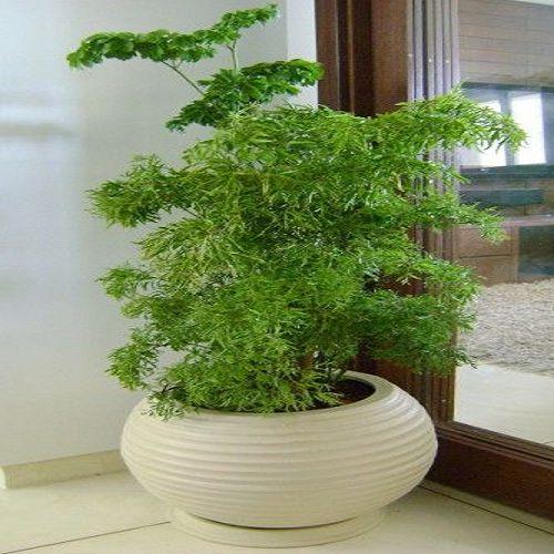vasos baixos também podem sustentar árvore da felicidade