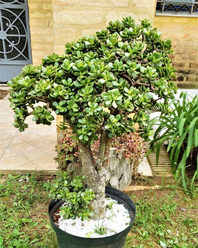 árvore da felicidade no jaridm