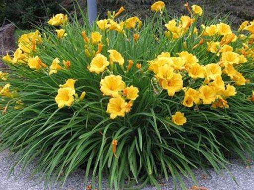 planta ornamental lirio amarelo