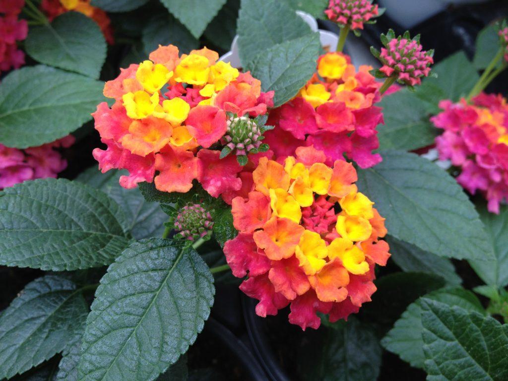 planta ornamental do sol