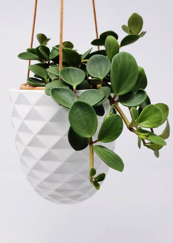 planta ornamental de sombra