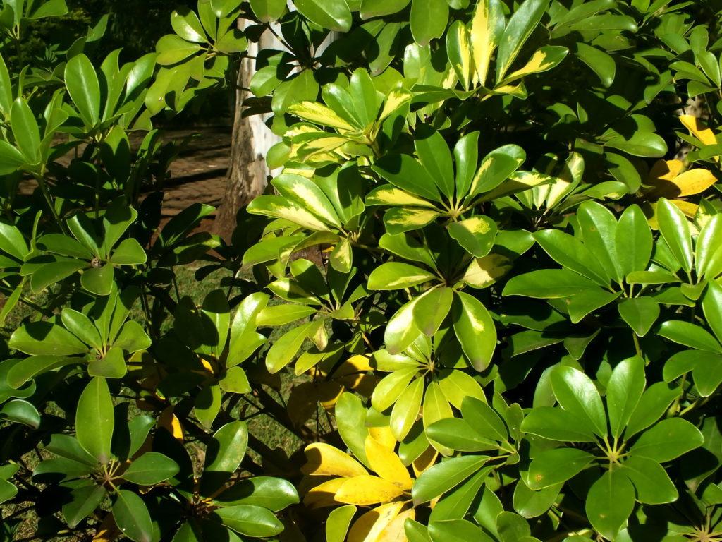 planta ornamental cheflera