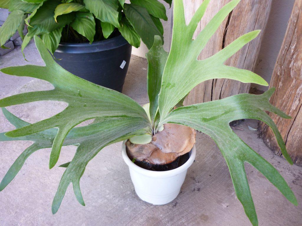 planta chifre de veado
