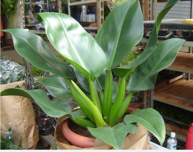 planta ornamentalpacová