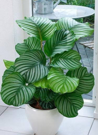planta ornamental maranta