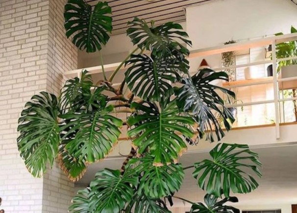 planta ornamental grande