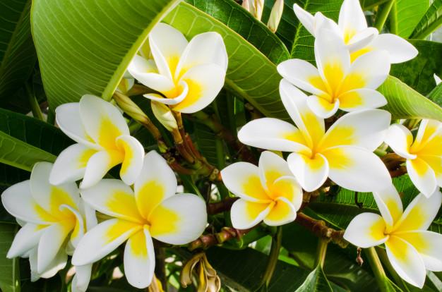 planta ornamental branca e amarela
