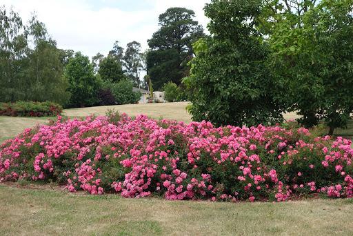rosas para decorar jardim