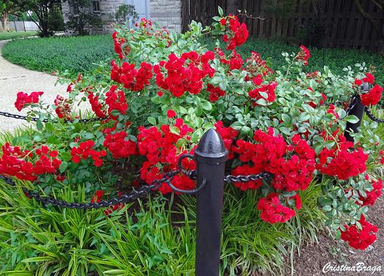 rosas sempre floridas